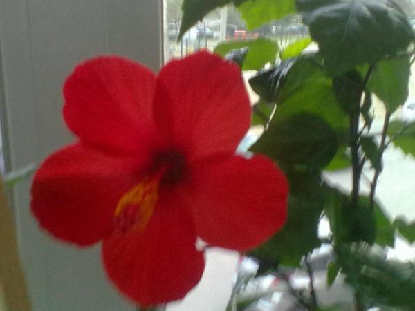 цветок розана